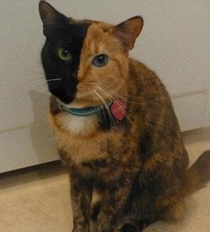 Bu Kedinin İki Yüzü Var 1