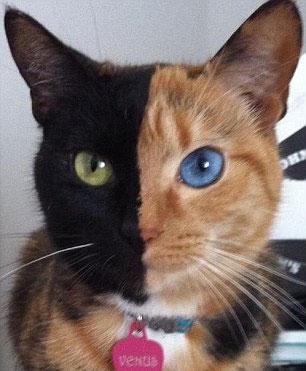 Bu Kedinin İki Yüzü Var 2