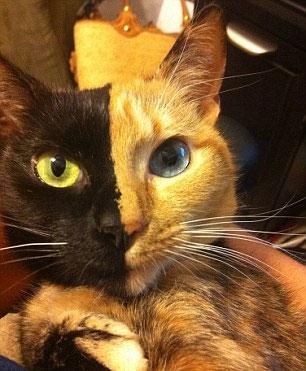 Bu Kedinin İki Yüzü Var 3
