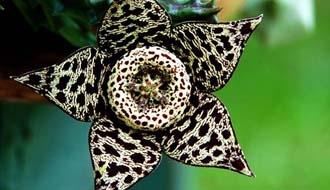 Alışılmamış çiçek türleri 8
