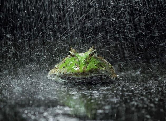 Kurbağaların şaşkınlık yaratan eğlenceli dünyası 2