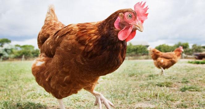 İsviçre tavuklara kümes mecburiyeti getirdi