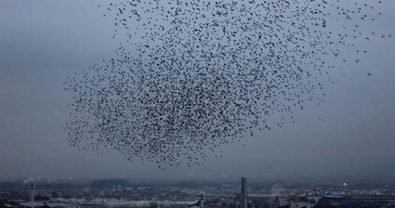Sığırcık kuşlarının gösterisi büyük ilgi gördü