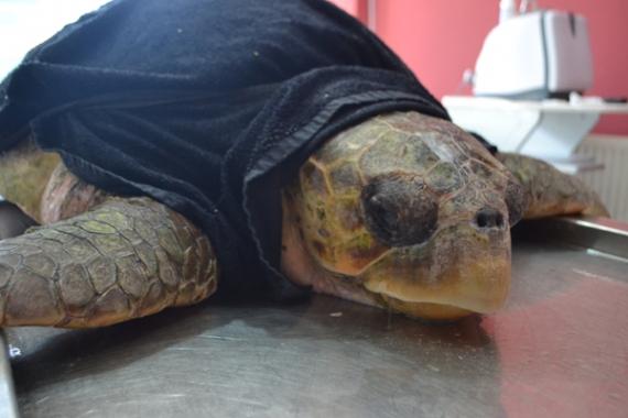 Balıkçı ağlarına takılan kaplumbağa kurtarılamadı!