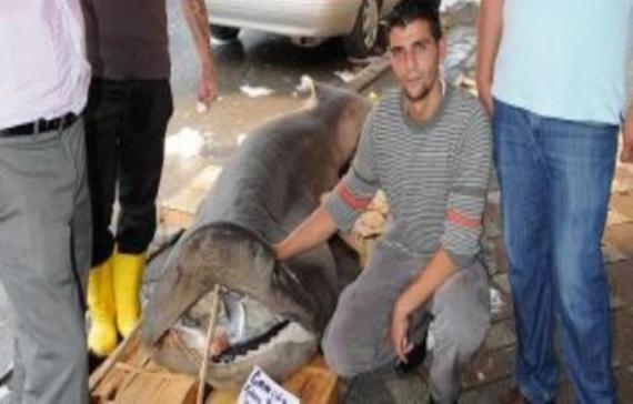 900 kiloluk köpek balığı yakalandı!
