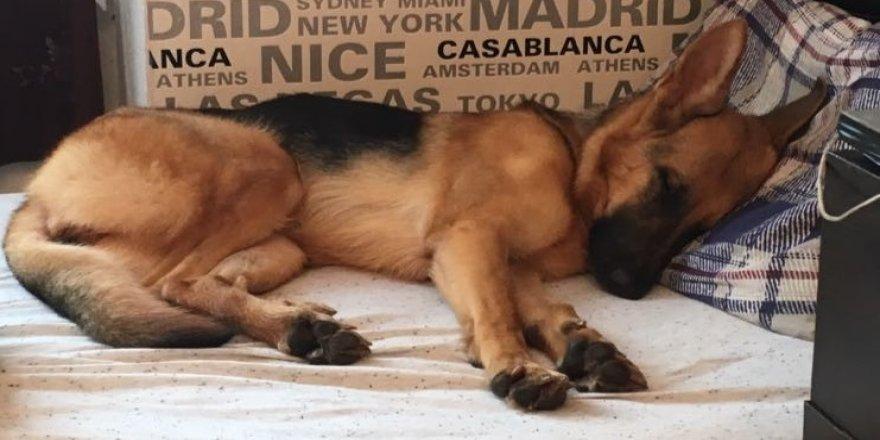 Kaybolan köpeği bulana 5 bin TL ödül
