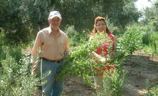 Stevia bitkisinin hasadı başladı!
