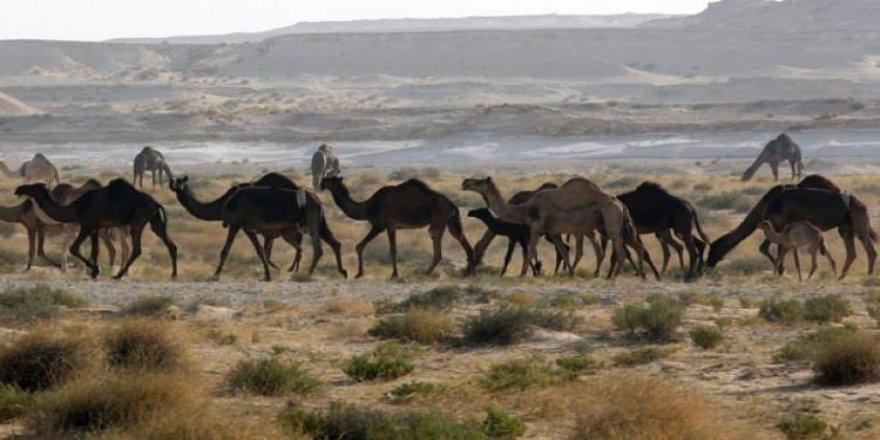 Katar'a ait develeri sınır dışı ettiler!