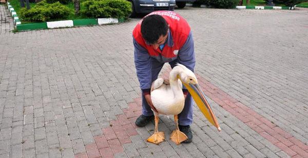 Yaralı pelikanı Osmangazililer kurtardı!