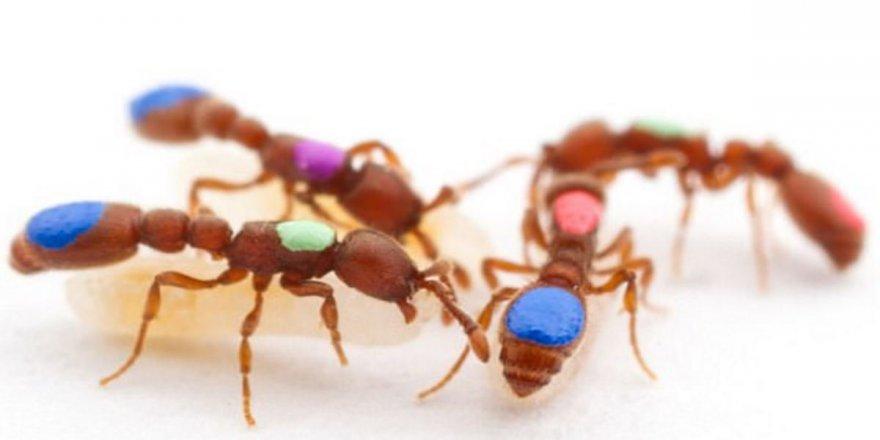 İlk kez mutant karınca yaratıldı!