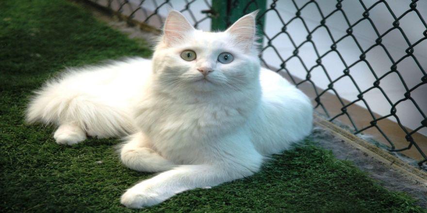 Van Kedileri Sağır Mı ?