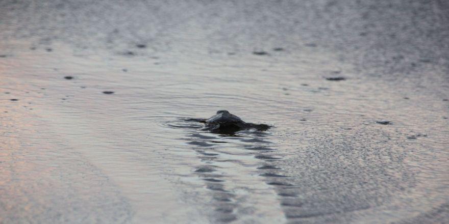 On Binlerce Yavru Kaplumbağa Denizle Buluştu