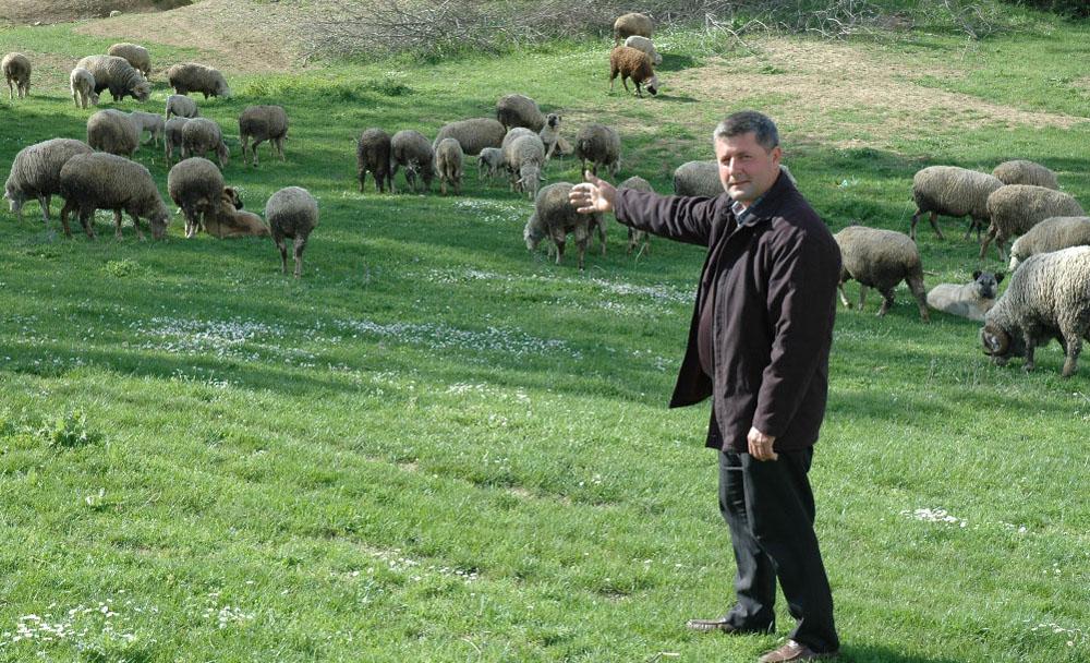 Tekirdag'da ağıldan 80 koyun çalındı!