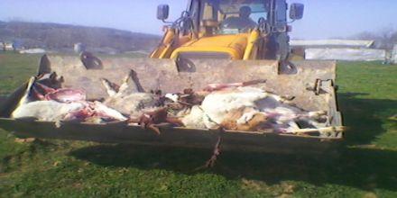 Gebe keçiler telef edildi!