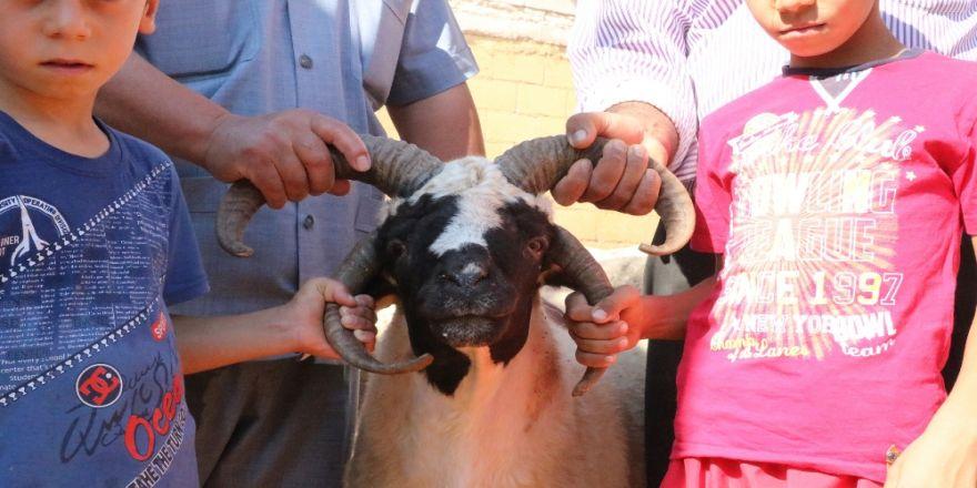 Öyle bir koyun ki gören bir daha bakıyor