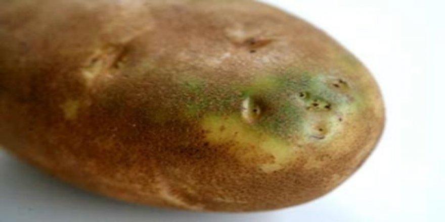 Yeşillenen patates tehlikeli midir?