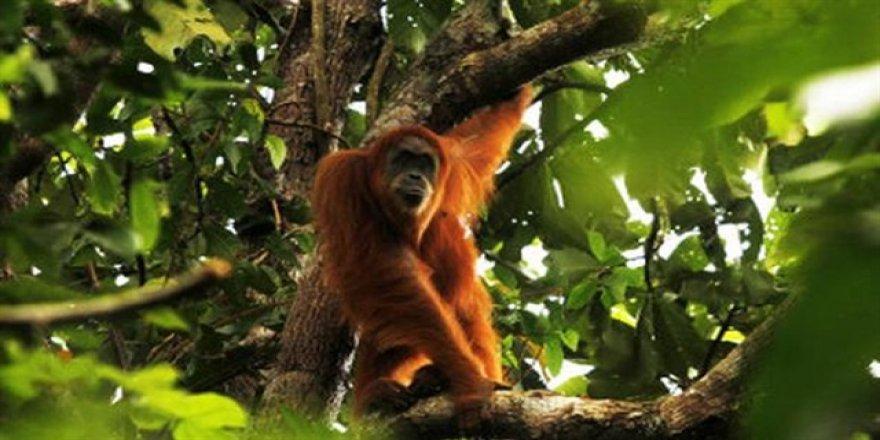 Bir asırdan sonra 'yeni maymun'