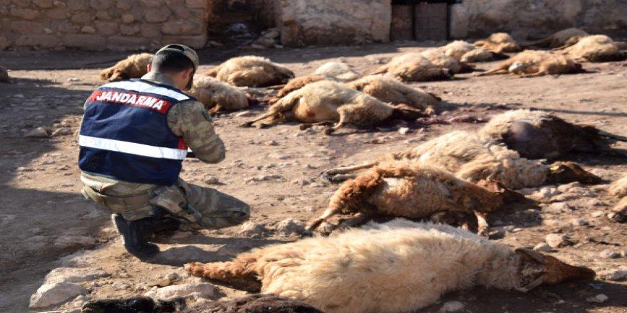 """Son bir ayda 4 çocuğu öldüren """"pamuk"""", 25 koyunu telef etti!"""