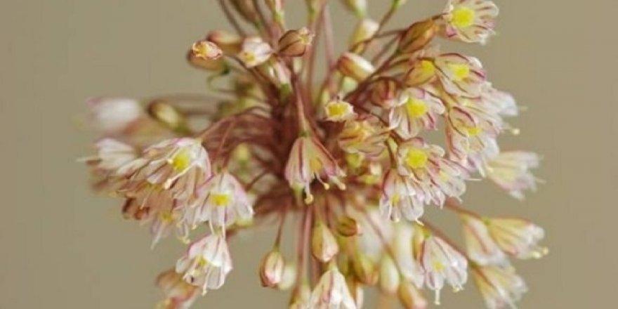 Yeni bir endemik bitki türü keşfedildi