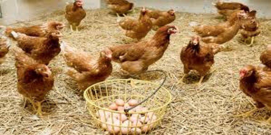 Tavuk Yumurtası Üretimi Eylül'de Aylık Bazda Azaldı