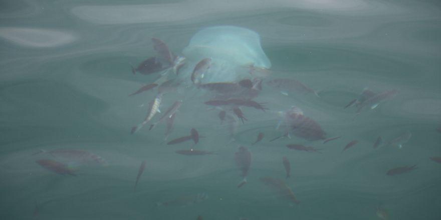 Tarakçı Balıklarının Deniz Anasına Saldırı Anı Kamerada