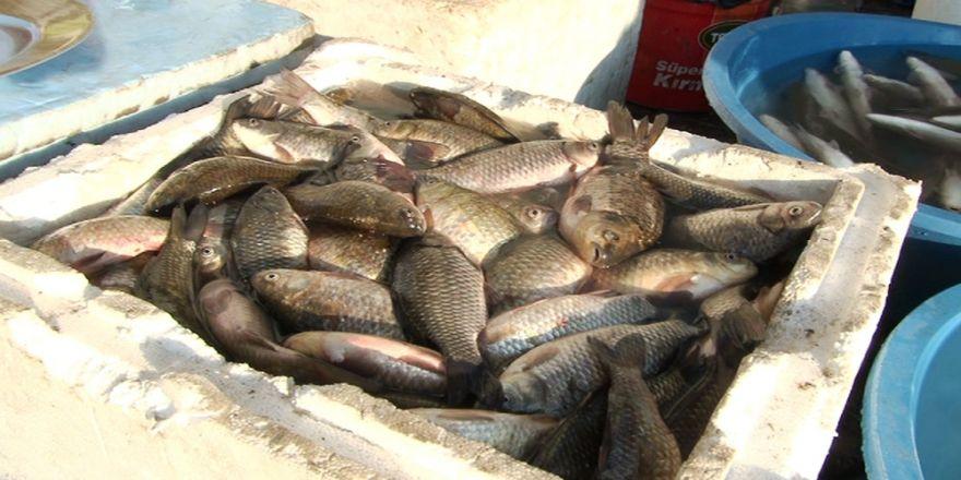 İstilacı İsrail sazanları diğer balıkların baş düşmanı