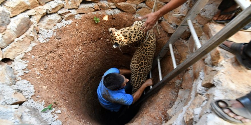 Hindistan'da leopar kurtarma operasyonu