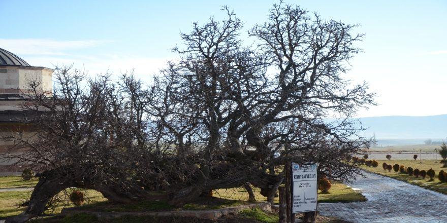 850 yaşındaki karadut ağacı hâlâ meyve veriyor