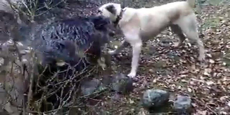 Kangallarla domuzların kavgası!