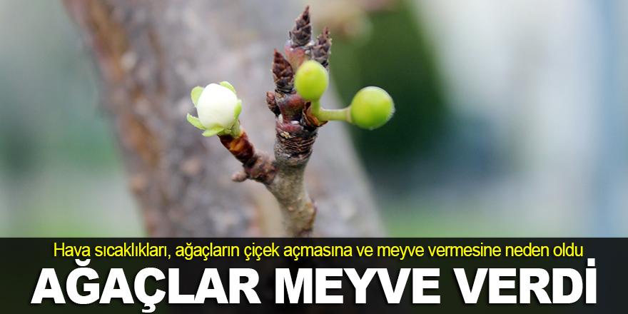 Kocaeli'nde ağaçlar meyve verdi