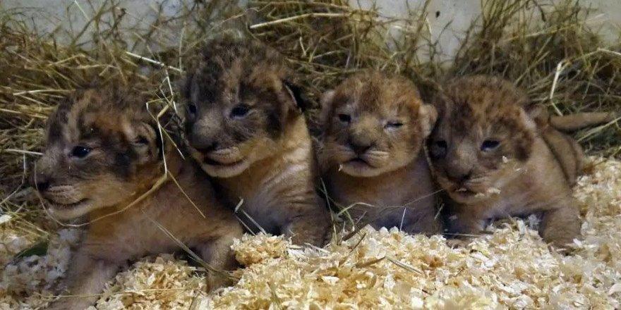 'Masraflı' diye aslan yavrularını öldürdüler