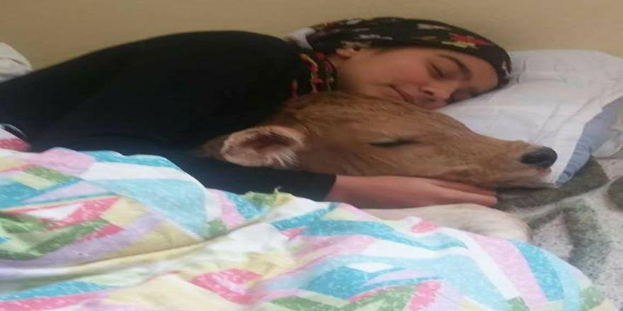 Rizeli Heidi kez hasta buzağısıyla uyudu