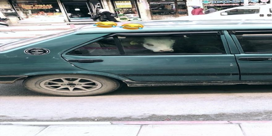 Otomobilin arka koltuğuna inek yavrusu bindirdi