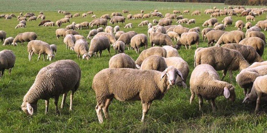 """""""300 koyun projesi""""nde başvurular başladı!"""