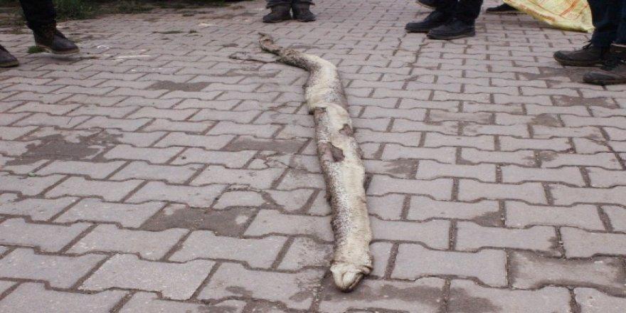 Tam 3 metre 20 santim uzunluğunda !
