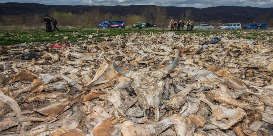 Terk edilmiş bir arazide yüzlerce hayvan kafatası bulundu
