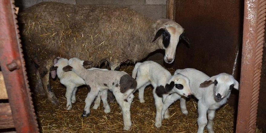 Bir koyun beşiz doğurdu
