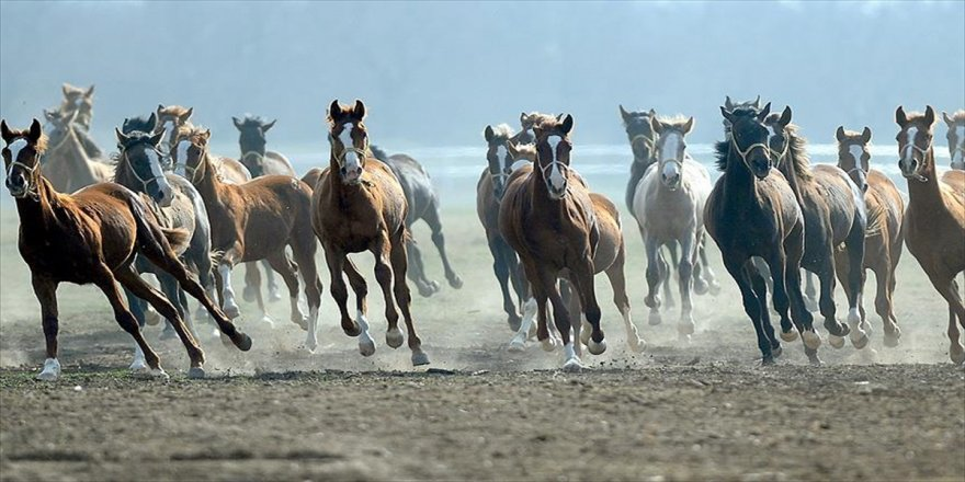 Safkan Arap atlarının yetiştirilme merkezi
