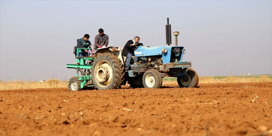 Suriye'nin buğday çeşitleri Türkiye'de hayat bulacak