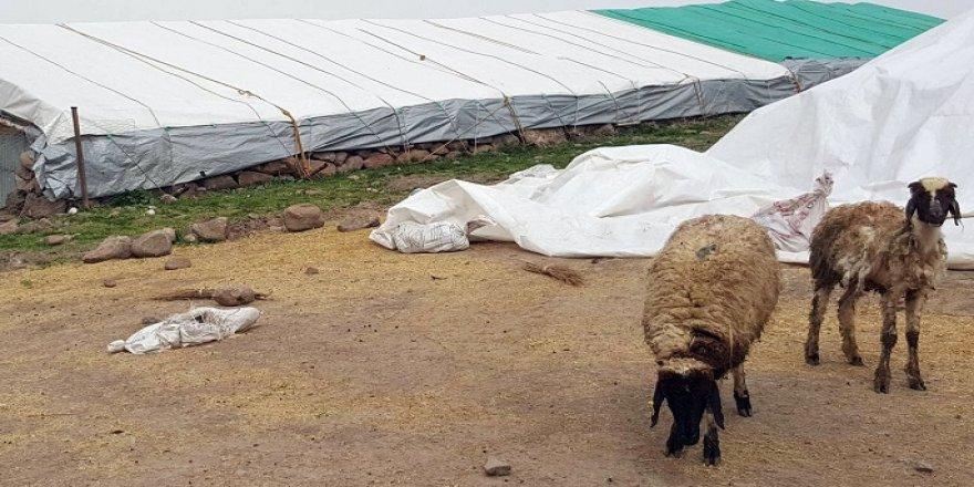 1 kedi, 14 koyunu telef etti