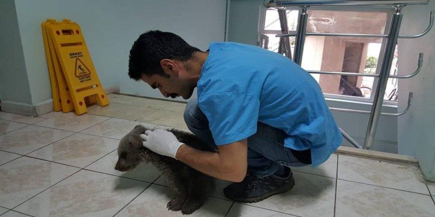 Yaralı boz ayı yavrusu tedavi altına alındı