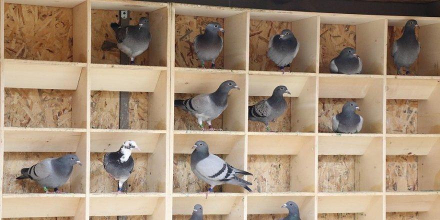 Posta güvercinlerine 5 yıldızlı otel hizmeti