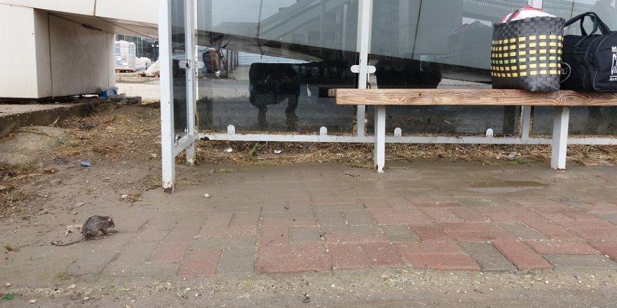 Yağmurdan ıslanan fare otobüs durağına sığındı