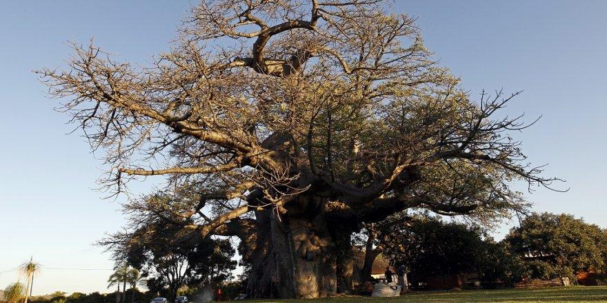 Bin yaşındaki 13 ağacın 9'u yok oldu