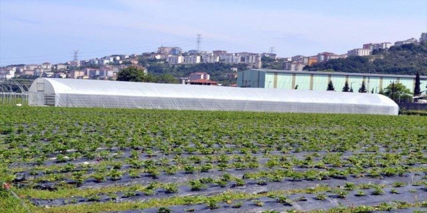 Fındığa alternatif süs bitkisi