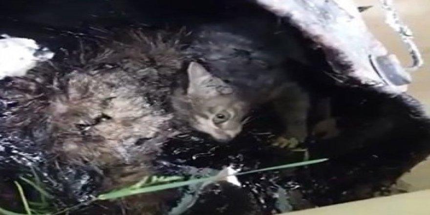 Rusya'da vahşet !!! Kedileri zift kovasının içerisine attılar