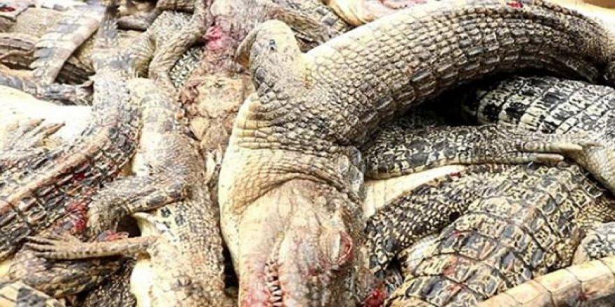 Haberi alınca 292 timsahı katlettiler!