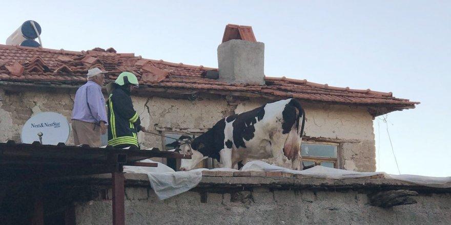 İnek çatıda mahsur kaldı