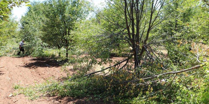 Aç ayılar vişne bahçesini talan etti