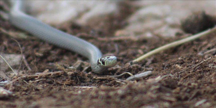 Yeni bir yılan türü bulundu